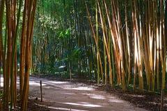 Evening sunlight on dense bamboo forest sticks poles in Bambouseraie de Prafrance Cevennes park, Generargues, Languedoc, France