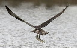 Https://www.dreamstime.com/stock-photography-man-work-image205552. Osprey in flight with a fish at St. Vrain State Park, Colorado Royalty Free Stock Photo