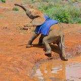 Huérfano luchador del elefante africano del bebé imagen de archivo