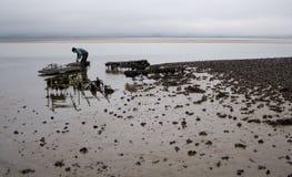 Huître cultivant dans Northumbria, R-U. Image stock