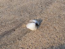 Huître de perle photo libre de droits