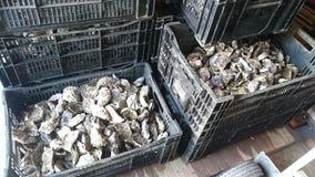 Huîtres dans la ferme d'huître de cadres photo libre de droits