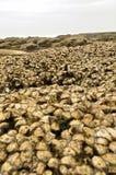 Huîtres fraîches Photographie stock libre de droits