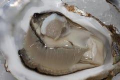 Huîtres normales Images libres de droits
