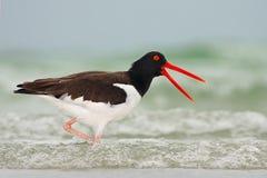 Huîtrier américain, palliatus de Haematopus, oiseau d'eau dans la vague, avec la facture rouge ouverte, la Floride, Etats-Unis photographie stock
