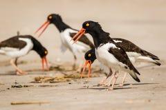 Huîtriers américains dans l'action comme ils foragent sur la la plage un matin ensoleillé images libres de droits