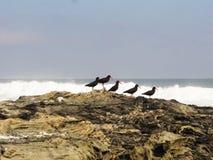Huîtriers noirs africains sur des roches Images stock