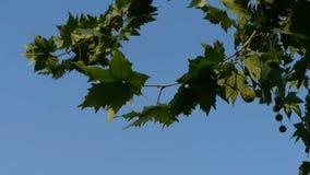 Huśtawkowi płascy drzewa & Indus opuszczają, drzewna korona zbiory