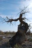HU yang tree3 Fotos de Stock Royalty Free