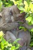 Hua Hin małpa 09 Zdjęcia Royalty Free