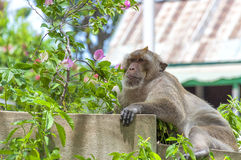 Hua Hin małpa 05 Zdjęcie Royalty Free