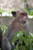 Hua Hin Monkey  Royalty Free Stock Photos