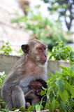 Hua Hin Monkey and baby Royalty Free Stock Photo
