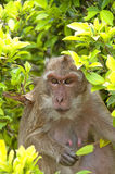 Hua Hin Monkey 10 Royalty Free Stock Images