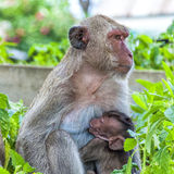 Hua Hin Monkeys 01 Arkivfoton