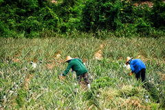 Farm workers in a pineapple field Stock Photography