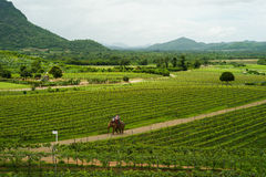Hua Hin Vineyards Royalty Free Stock Photography