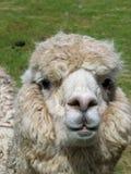 Huacaya alpaca Stock Images