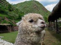 Huacaya alpaca Stock Image