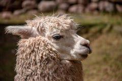 AHuacaya Alpaca in the Andes Mountains of Southern Peru. A Huacaya Alpaca Similar to a Llama but Smaller in the Andes Mountains of Southern Peru royalty free stock photos