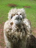Huacaya alpaca Royalty Free Stock Photography
