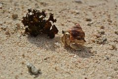 Huahine, kluizenaarkrab en zeewier op strand stock foto