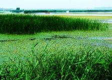 Huaiyang wetland, round city lake, lotus root, natural ecology. Nature lake circles huai yang county a week. zhaofuxin royalty free stock images