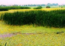 Huaiyang wetland, round city lake, lotus root, natural ecology. Nature lake circles huai yang county a week. zhaofuxin royalty free stock image