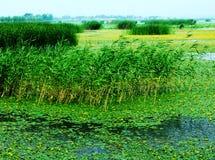 Huaiyang wetland, round city lake, lotus root, natural ecology. Nature lake circles huai yang county a week. zhaofuxin stock photo