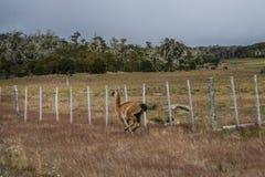 Huanaco que corre al borde de la carretera fotografía de archivo