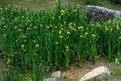 Iris pseudacorus L. Huang Changpu is the pride of aquatic flowers in yellow color, brilliant, beautiful appearance is elegant, with high ornamental value. It Stock Photo