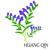 Huang qin herb Stock Photo
