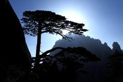 Huangshan Pine Stock Image
