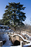 Huangshan Pine in winte Stock Images