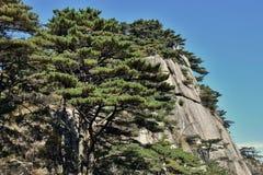 Huangshan sörjer trädet som växer från, vaggar i Huangshan, gula berg, det Anhui landskapet, Kina Arkivfoton