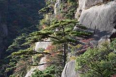 Huangshan sörjer trädet som växer från, vaggar i Huangshan, gula berg, det Anhui landskapet, Kina Royaltyfria Foton