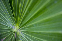Huano leaf Royalty Free Stock Image