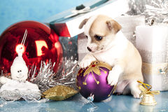 Huapuppy van Chihuahua stock foto