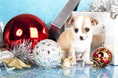 Huapuppy van Chihuahua royalty-vrije stock fotografie