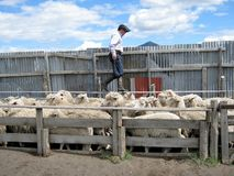 Huaso -在绵羊农场的印第安人混血儿浮动绵羊-智利 库存照片