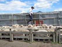 Huaso - Gaucho-het drijven schapen op Schapenlandbouwbedrijf - Chili Stock Foto