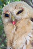 huatulco墨西哥猫头鹰宠物 免版税图库摄影
