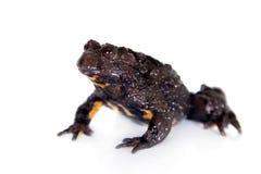 Hubei firebelly Toad, Bombina microdeladigitora, on white Royalty Free Stock Photos