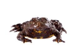 Hubei firebelly Toad, Bombina microdeladigitora, on white Stock Photo