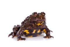 Hubei firebelly Toad, Bombina microdeladigitora, on white Stock Photos