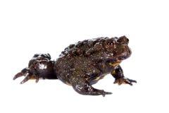 Hubei firebelly Toad, Bombina microdeladigitora, on white Stock Images