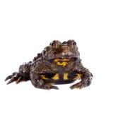 Hubei firebelly Toad, Bombina microdeladigitora, on white Royalty Free Stock Image
