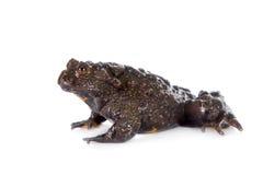 Hubei firebelly Toad, Bombina microdeladigitora, on white Stock Photography