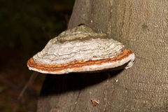Hubka grzyb na drzewnym bagażniku Zdjęcie Stock