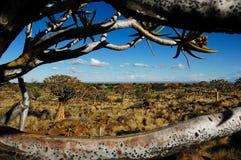 Hublot à la forêt d'arbre de tremblement (Namibie) Image libre de droits